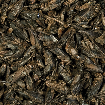 Tropical Crickets 250 ml suszone świerszcze